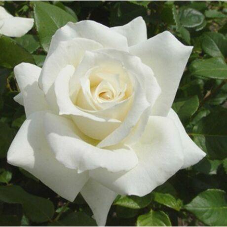 Rosa 'Pascali' / Fehér teahibrid virágú magastörzsű rózsa