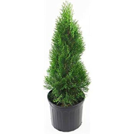 Thuja occidentalis 'Smaragd' / Smaragd tuja