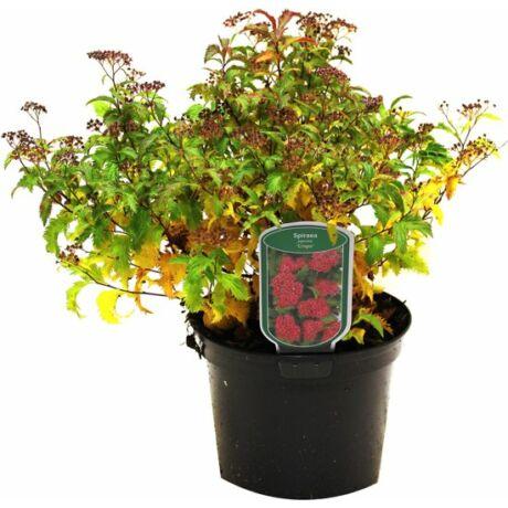 Spiraea japonica 'Crispa' / Rojtos gyöngyvessző