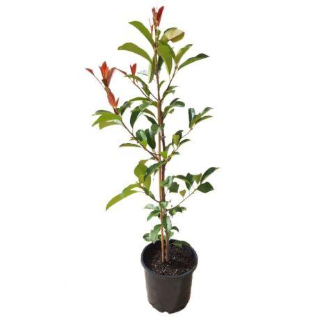 Photinia fraseri 'Red Robin' / Vörös korallberkenye