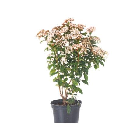 Viburnum cinnamomifolium / Fahéj levelű bangita