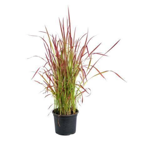 Imperata cylindrica 'Red Baron' / Vörös alangfű