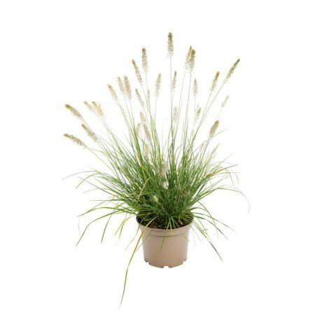 Pennisetum alopecuroides / Tollborzfű