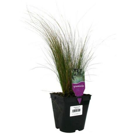Stipa tenuissima / Árvalányhaj