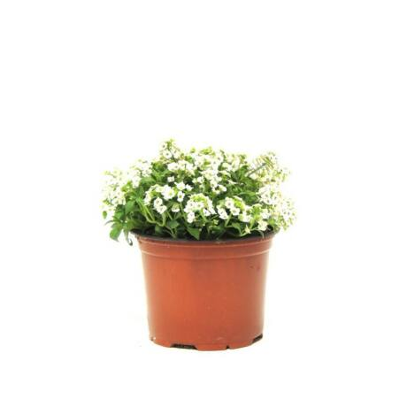 Lobularia maritima / Mézvirág, illatos ternye