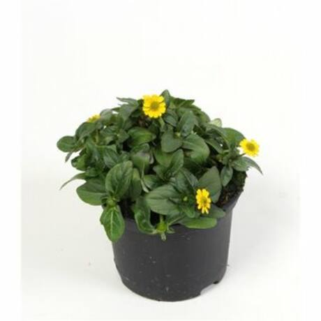Sanvitalia procumbens / Tömpevirág