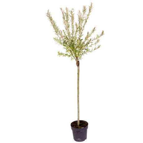 Salix integra 'Hakuro-nishiki'