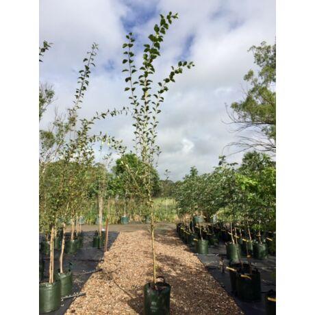 Populus simonii 'Fastigiata' / Oszlopos kínai nyár