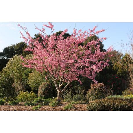 Prunus Campanulata / Díszcseresznye