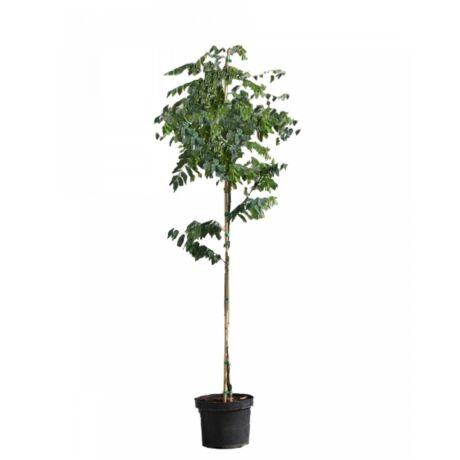 Robinia pseudoacacia 'Umbraculifera' / Gömbakác