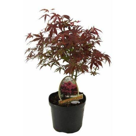 Acer palmatum 'Atropurpureum' / Vöröslevelű japán juhar