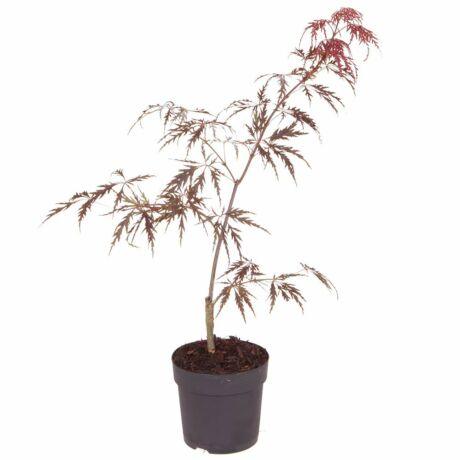 Acer palmatum dissectum 'Garnet' / Vörös szeldelt levelű japán juhar