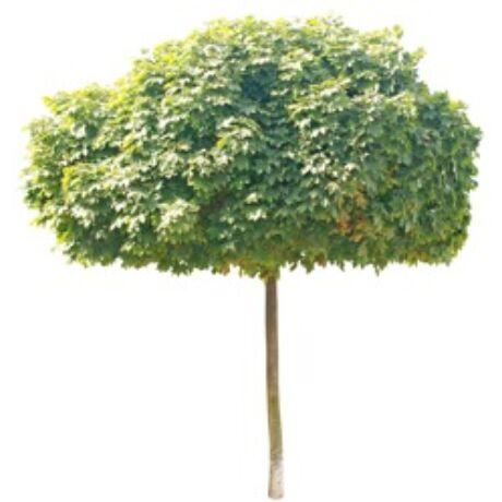 Acer platanoides 'Globosum' / Gömb juhar