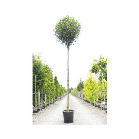 Prunus fruticosa 'Globosa' / Gömb csepleszmeggy