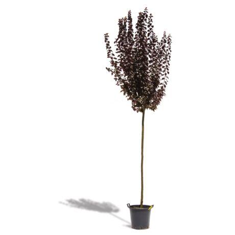 Prunus cerasifera 'Nigra' / Vérszilva