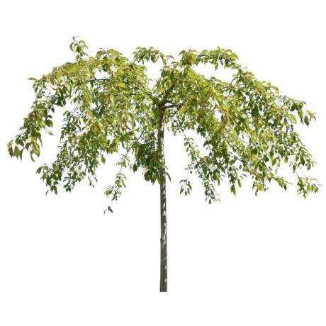 Prunus serrulata 'Kiku Shidare Sakura' / Csüngő japán díszcseresznye