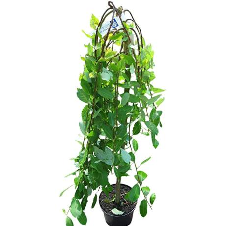 Salix caprea pendula 'Kilmarnock' / Csüngő barkafűz