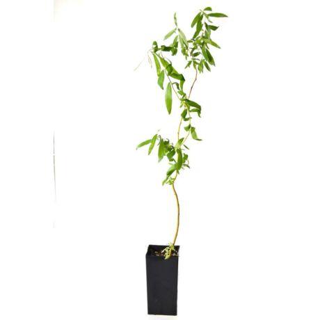 Salix alba 'Tristis' / Fehér fűz