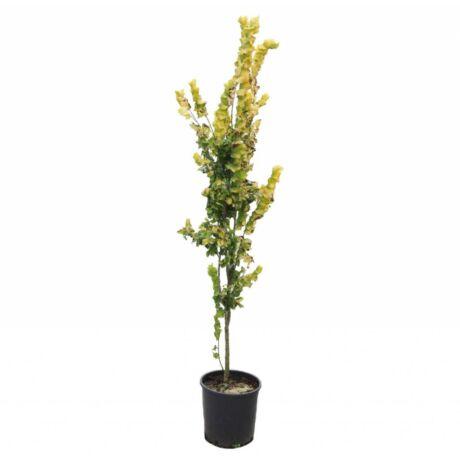 Ulmus hollandica 'Wredei' / Sárga szil