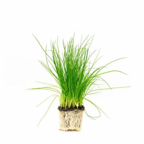 Allium schoenoprasum / Snidling, metélőhagyma