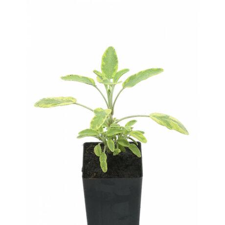 Salvia officinalis 'Variegata'  / Mezei zsálya