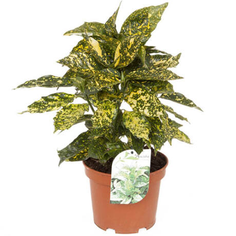 Aucuba japonica 'Crotonifolia' / Japán babérsom