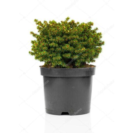 Picea abies 'Nidiformis' / Törpe fészekluc