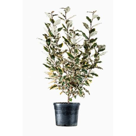 Elaeagnus ebbingei 'Eleador'-'Limelight' / Sárga-tarka levelű ezüstfa