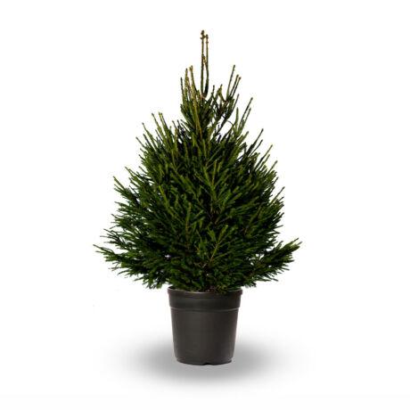 Picea abies / Lucfenyő