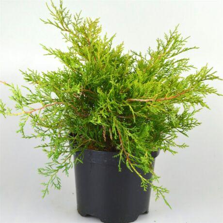 Juniperus media 'Old gold' / Óarany terülő boróka