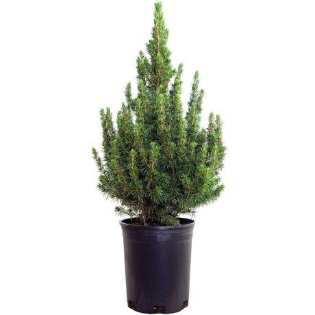 Picea glauca 'Conica' / Cukorsüvegfenyő