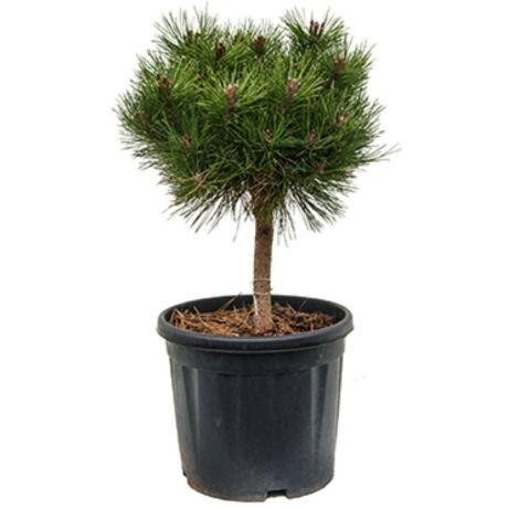 Pinus nigra 'Brepo' / Feketefenyő törpe gömb