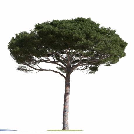 Pinus pinea / Mandulafenyő