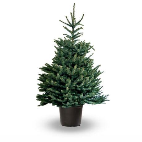 Picea pungens / Ezüstfenyő