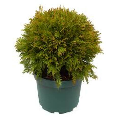 Thuja occidentalis 'Danica' / Törpe gömbtuja 'Danica'
