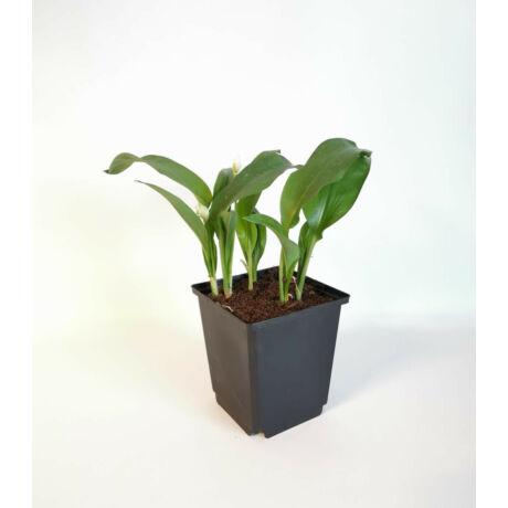 Medvehagyma 'Allium ursinum'