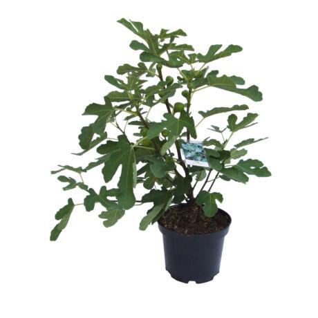 Ficus carica 'Brigiotto nero' / Fekete füge