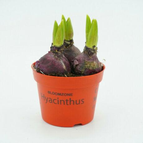 Hyacinthus / Jácint