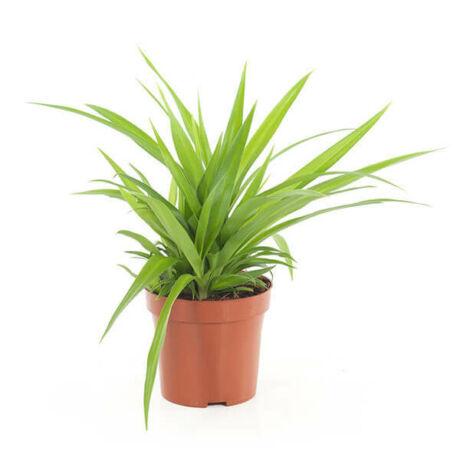 Chlorophytum comosum / Csüngő csokrosinda