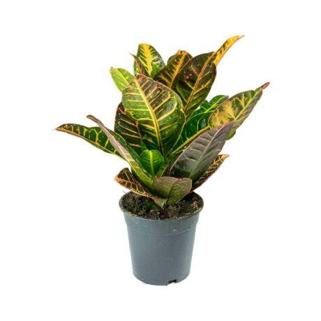 Codiaeum variegatum var. pictum 'Petra'