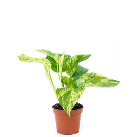 Epipremnum pinnatum 'Marbe Queen' / Szobafutóka