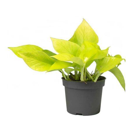 Epipremnum pinnatum 'Neon' / Szobafutóka neon