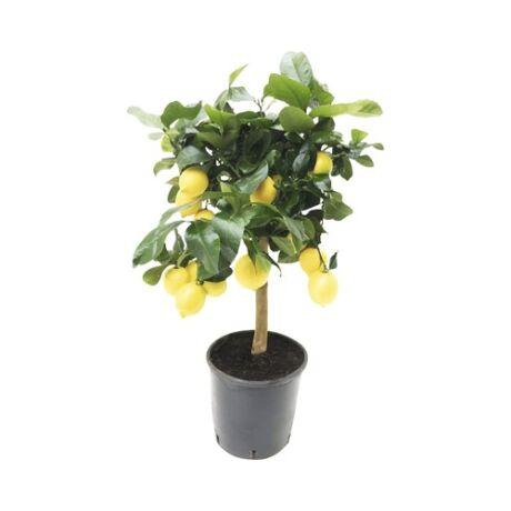 Citrus Limon/ Óriás citrom