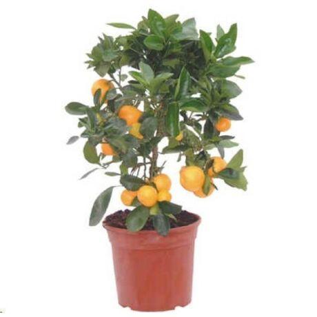 Citrus mitis 'Calamondin' / Törpe narancs