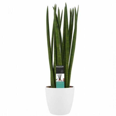 Sansevieria Cylindrica / Hengeres Anyósnyelv