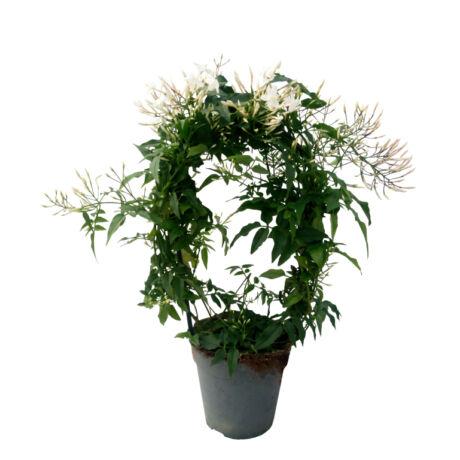 Jasminum polyanthum / Sokvirágú, illatos jázmin