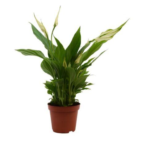 Spathiphyllum / Vitorlavirág