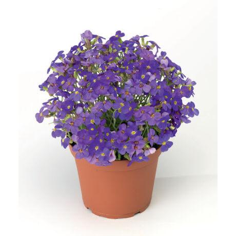 Aubrieta hybrida / Pázsitviola