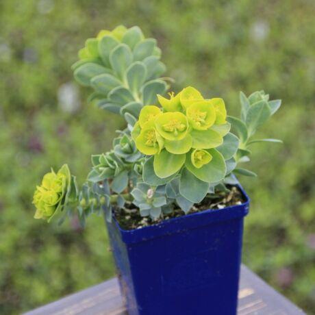 Euphorbia myrsinites / Délszaki kutyatej