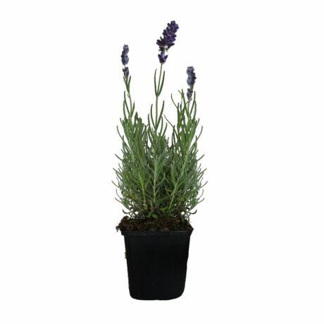 Lavandula angustifolia 'Blue scent' / Sötétkék levendula